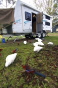 caravan;camping;campsite;birds-eating-seeds;grampians-national-park;caravan-camping;campground