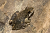 coplands-rock-frog-picture;coplands-rock-frog;coplands-rock-frog;coplands-frog;coplands-frog;saxicoline-tree-frog;litoria-coplandi;amphibian;amphibians;small-frog;tiny-frog;one;single;brown;mottled;zebedee-spring;el-questro;kimberley;western-australia;northern-australia;steven-david-miller
