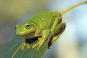 green-tree-frog-picture;green-tree-frog;green-treefrog;common-green-tree-frog;dunny-frog;northern-green-tree-frog;whites-tree-frog;litoria-caerulea;green-frog;funny-frog;green;australian-amphibians;australian-tree-frogs;australian-treefrogs;australian-frogs;cobbold-gorge;robin-hood-station;north-queensland;the-savannah-way;steven-david-miller