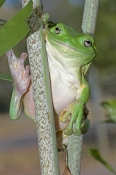 green-tree-frog-picture;green-tree-frog;green-treefrog;common-green-tree-frog;dunny-frog;northern-green-tree-frog;whites-tree-frog;litoria-caerulea;amphibian;amphibians;frog;frogs;australian-amphibians;australian-frogs;australian-tree-frogs;australian-treefrogs;australian-frog;green;funny;cute;eye-contact;top-end;northern-territory;darwin;howard-springs;steven-david-miller