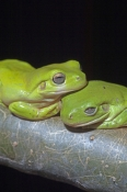 green-tree-frog-picture;green-tree-frog;green-tree-frogs;tree-frog;green-treefrog;amphibian;amphibians;australian-amphibians;australian-tree-frog;australian-treefrog;giant-tree-frog;giant-treefrog;litoria-caerulea;two-green-tree-frogs;pair-of-frogs;green-frogs;green;pair;two;couple;romantic;cuddling;wyndham;parrys-creek-farm;western-australia;steven-david-miller