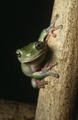 Australian Amphibians