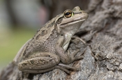 motorbike-frog-picture;motorbike-frog;motor-bike-frog;western-green-tree-frog;moores-frog;western-bell-frog;western-green-and-golden-bell-frog;litoria-moorei;amphibian;amphibians;australian-amphibians;frogs;australian-frogs;australian-tree-frogs;brown;mottled;one;single;busselton;western-australia;steven-david-miller