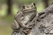 motorbike-frog-picture;motorbike-frog;motor-bike-frog;western-green-tree-frog;moores-frog;western-bell-frog;western-green-and-golden-bell-frog;litoria-moorei;amphibian;amphibians;australian-amphibians;frogs;australian-frogs;australian-tree-frogs;brown;mottled;eye-contact;one;single;busselton;western-australia;steven-david-miller