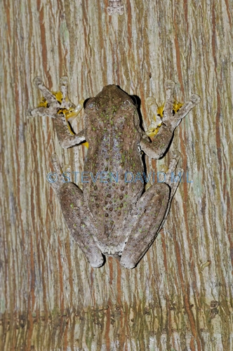perons tree frog picture;perons tree frog;peron's tree frog;emerald-spotted tree frog;laughing tree frog;maniacal cackle frog;litoria peronii;australian tree frogs;australian treefrogs;beerwah;queensland frog;queensland;steven david miller