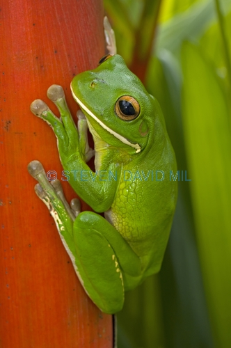 white-lipped tree frog picture;white-lipped tree frog;white lipped tree frog;white lipped treefrog;giant tree frog;giant treefrog;green frog;litoria ingrafrenata;australian tree frogs;australian treefrogs;cairns;cape york;far north queensland;north queensland;steven david miller