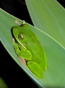white-lipped-tree-frog-picture;white-lipped-tree-frog;white-lipped-tree-frog;white-lipped-treefrog;giant-tree-frog;giant-treefrog;green-frog;litoria-ingrafrenata;australian-tree-frogs;australian-treefrogs;cooktown;cape-york;far-north-queensland;north-queensland;steven-david-miller