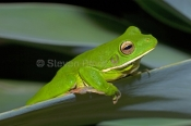 white-lipped-tree-frog-picture;white-lipped-tree-frog;white-lipped-tree-frog;white-lipped-treefrog;g