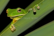 white-lipped-tree-frog-picture;white-lipped-tree-frog;white-lipped-tree-frog;white-lipped-treefrog;giant-tree-frog;giant-treefrog;litoria-infrafrenata;large-frog;green-frog;australian-tree-frogs;australian-treefrogs;cooktown;far-north-queensland;north-queensland;cape-york;steven-david-miller