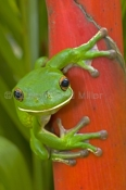 white-lipped-tree-frog-picture;white-lipped-tree-frog;white-lipped-tree-frog;white-lipped-treefrog;giant-tree-frog;giant-treefrog;green-frog;litoria-ingrafrenata;australian-tree-frogs;australian-treefrogs;cairns;cape-york;far-north-queensland;north-queensland;steven-david-miller