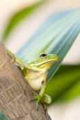 white-lipped-tree-frog-picture;white-lipped-tree-frog;white-lipped-tree-frog;white-lipped-treefrog;giant-tree-frog;giant-treefrog;green-frog;litoria-ingrafrenata;amphibian;amphibians;australian-amphibians;frogs;australian-frogs;australian-tree-frogs;australian-treefrogs;large-frog;one;single;green-red;cape-york;far-north-queensland;north-queensland;steven-david-miller