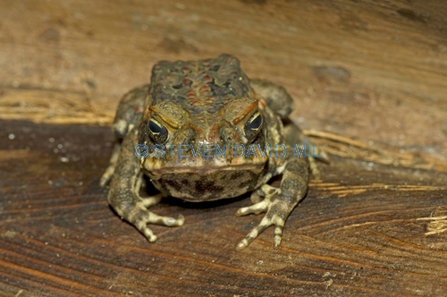 cane toad picture;cane toad;cane toads;marine toad;marine toads;bufo marinus;amphibian;amphibians;central american toad;south american toad;introduced toad;introduced species;non-native toad;non-native species;invasive species;poisonous toad;poison toad;venemous toad;grumpy;eye contact;single;one;brown;mottled;cairns;queensland;north queensland;steven david miller