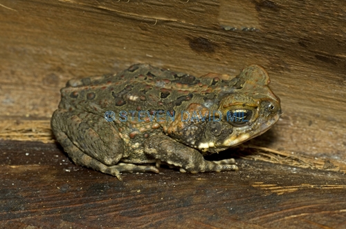 cane toad picture;cane toad;marine toad;bufo marinus;introduced species;non-native toad;poisonous toad;poison toad;invasive species;grumpy;steven david miller