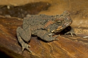 cane-toad-picture;cane-toad;cane-toads;marine-toad;marine-toads;bufo-marinus;amphibian;amphibians;central-american-toad;south-american-toad;introduced-toad;introduced-species;non-native-toad;non-native-species;invasive-species;poisonous-toad;poison-toad;venemous-toad;grumpy;single;one;brown;mottled;cairns;queensland;north-queensland;steven-david-miller