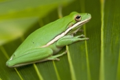 american-green-tree-frog-picture;american-green-tree-frog;american-green-treefrog;little-treefrog;hyla-cinerea;treefrog-on-palm-frond;frog;little-frog;florida-frog;florida-amphibian;american-tree-frog;american-treefrog;green;naples-botanical-gardens;naples;florida;steven-david-miller