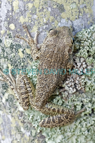 cuban tree frog picture;cuban treefrog picture;cuban treefrog;cuban tree frog;osteopilus septentrionalis;frog picture;florida frog;introduced species;invasive species;southwest florida frog;frog on tree;camouflage frog;camouflage