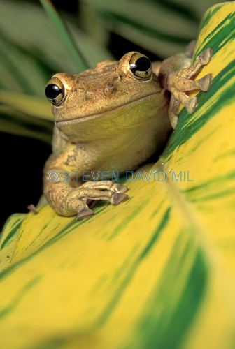 cuban tree frog picture;cuban treefrog picture;cuban treefrog;cuban tree frog;osteopilus septentrionalis;frog picture;horizontal frong picture;frog looking in camera;florida frog;introduced species;invasive species;southwest florida frog;florida;steven david miller