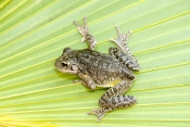 cuban-tree-frog-picture;cuban-treefrog-picture;cuban-treefrog;cuban-tree-frog;osteopilus-septentrionalis;frog-picture;florida-frog;introduced-species;invasive-species;southwest-florida-frog