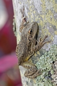 cuban-tree-frog-picture;cuban-treefrog-picture;cuban-treefrog;cuban-tree-frog;osteopilus-septentrionalis;frog-picture;florida-frog;introduced-species;invasive-species;southwest-florida-frog;frog-on-tree