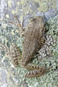 cuban-tree-frog-picture;cuban-treefrog-picture;cuban-treefrog;cuban-tree-frog;osteopilus-septentrion