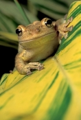 cuban-tree-frog-picture;cuban-treefrog-picture;cuban-treefrog;cuban-tree-frog;osteopilus-septentrionalis;frog-picture;horizontal-frong-picture;frog-looking-in-camera;florida-frog;introduced-species;invasive-species;southwest-florida-frog;florida;steven-david-miller