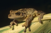AMPHIBIANS;Anura;FROGS;TREE-FROGS;USA;VERTEBRATES;non-native;north-america;tropical-rainforest