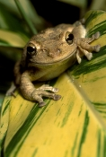 AMPHIBIANS;Anura;CARIBBEAN;FROGS;PORTRAITS;TREE-FROGS;tropical-rainforest;USA;VERTEBRATES