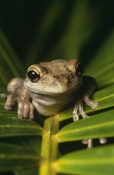Anura;FROGS;TREE-FROGS;VERTEBRATES;AMPHIBIANS;north-america;USA;VERTICAL;OSTEOPILUS-SEPTENTRIONALIS