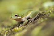 squirrel-treefrog-picture;squirrel-tree-frog-picture;squirrel-treefrog;squirrel-tree-frog;tree-frog;treefrog;hyla-squirella;small-treefrog;small-tree-frog;little-treefrog;little-tree-frog;cute-treefrog;cute-tree-frog;florida-treefrog;florida-tree-frog;american-treefrog;american-tree-frog;oleno-state-park;high-springs;florida;steven-david-miller