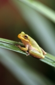north-america;AMPHIBIANS;Anura;FROGS;TREE-FROGS;USA;VERTEBRATES;VERTICAL;HYLA-SQUIRELLA
