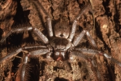 ARACHNIDS;ARTHROPODS;AUSTRALIA;FACES;HETEROPODA-VENATORIA;INVERTEBRATES;MOUTHS;SPIDERS