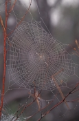 argiope-spider-web-picture;argiope-spider-web;spider-web;spider-in-web;spider-web-with-dew-s;web-with-dew-s;web;broome;steven-david-miller;natural-wanders