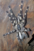 tarantula-picture;tarantula;indian-ornamental-tarantula;huge-spider;hairy-spider;indian-spider;spider-from-india;the-australian-reptile-park