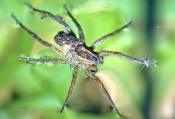 wolf-spider-picture;wolf-spider;lycosidae;wolf-spider-with-spiderlings;spider-with-spiderlings;spider-floating;spider-on-the-surface-of-the-water;example-of-water-surface-tension;water-surface-tension-and-spider;florida-spider;arachnid;spider;steven-david-miller