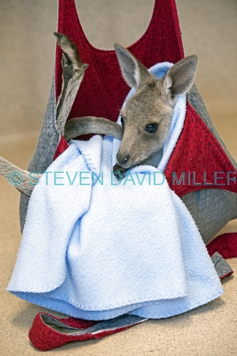 eastern grey kangaroo picture;eastern grey kangaroo;eastern gray kangaroo;joey eastern grey kangaroo;grey kangaroo;gray kangaroo;macropus giganteus;orphan kangaroo;kangaroo in care;baby animal;cute baby animal;australian marsupials;wildlife habitat;steven david miller