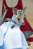 eastern-grey-kangaroo-picture;eastern-grey-kangaroo;eastern-gray-kangaroo;joey-eastern-grey-kangaroo;grey-kangaroo;gray-kangaroo;macropus-giganteus;orphan-kangaroo;kangaroo-in-care;baby-animal;cute-baby-animal;australian-marsupials;wildlife-habitat;steven-david-miller