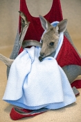 eastern-grey-kangaroo-picture;eastern-grey-kangaroo;eastern-gray-kangaroo;joey-eastern-grey-kangaroo