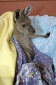 orphan-animal;orphan-kangaroo;orphan-kangaroo-joey;orphan-joey;kangaroo-in-care;wildlife-care;orphan