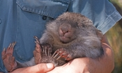 common-womat;young-wombat;wombat-walking;orphaned-wombat;vombatus-ursinus;tasmanian-wombat;bonorong-