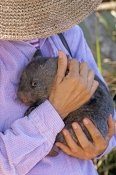 common-womat;young-wombat;orphaned-wombat;vombatus-ursinus;tasmanian-wombat;bonorong-wildlife-park;wombat-with-carer;wombat-with-wildlife-carer;woman-holding-wombat