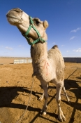 camel;dromedary-camel;camelus-dromedarius;dog-on-camel;camel-sitting;one-humped-camel;one-humped-camel;marree-camel-races;outback-camel-races;australian-camel-races;camel-races