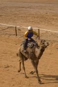 camel;dromedary-camel;camelus-dromedarius;one-humped-camel;one-humped-camel;marree-camel-races;outback-camel-races;australian-camel-races;camel-races