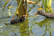dusky-moorhen-picture;dusky-moorhen;moorhen;gallinule;gallinula-tenebrosa;dusky-moorhen-chick;dusky-moorhen-begging;dusky-moorhen-feeding-chick;baby-bird-begging-for-food;cooperative-breeding-and-nesting;australian-moorhen;australian-gallinule;hervey-bay-botanical-gardens;hervey-bay;queensland;steven-david-miller