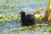 dusky-moorhen-picture;dusky-moorhen;moorhen;gallinule;gallinula-tenebrosa;dusky-moorhen-chick;dusky-moorhen-chick-in-water;dusky-moorhen-in-water;baby-bird;moorhen-swimming;cooperative-breeding-and-nesting;australian-moorhen;australian-gallinule;hervey-bay-botanical-gardens;hervey-bay;queensland;steven-david-miller