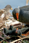 Aquatic Hens, Rails & Gallinules