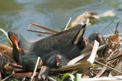 dusky-moorhen-picture;dusky-moorhen;moorhen;gallinule;gallinula-tenebrosa;dusky-moorhen-chick;dusky-moorhen-nest;dusky-moorhen-hatcling;moorhen-nest;cooperative-breeding-and-nesting;bird-feeding-chick;australian-moorhen;australian-gallinule;hervey-bay-botanical-gardens;hervey-bay;queensland;steven-david-miller