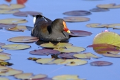 dusky-moorhen-picture;dusky-moorhen;moorhen;gallinule;gallinula-tenebrosa;dusky-moorhen-adult;australian-moorhen;australian-gallinules;bird-in-water;bird-swimming;lilyponds;bird-in-lily-pond;mapleton;queensland;steven-david-miller