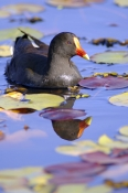 dusky-moorhen-picture;dusky-moorhen;moorhen;gallinule;gallinula-tenebrosa;dusky-moorhen-adult;australian-moorhen;australian-gallinules;bird-in-water;bird-swimming;lilyponds;bird-in-lily-pond;reflection;reflections;mapleton;queensland;steven-david-miller