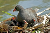 dusky-moorhen-picture;dusky-moorhen;moorhen;gallinule;gallinula-tenebrosa;dusky-moorhen-chick;dusky-moorhen-nest;dusky-moorhen-hatcling;moorhen-nest;cooperative-breeding-and-nesting;australian-moorhen;australian-gallinule;hervey-bay-botanical-gardens;hervey-bay;queensland;steven-david-miller