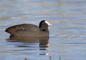 eurasian-coot-picture;eurasian-coot;coot;fulica-atra;black-coot;australian-coot;australian-birds;bir